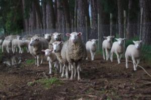 Blog post on free sheep photos