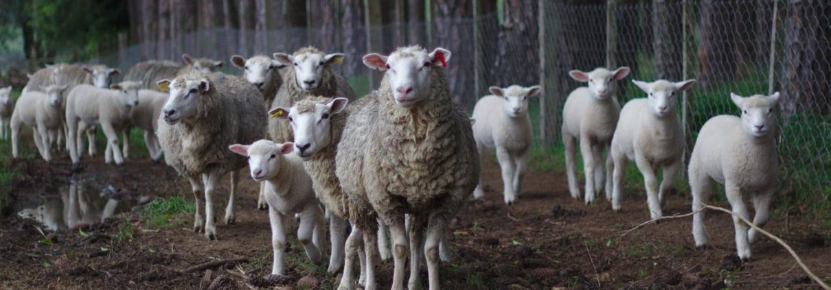 Free Sheep Fotos