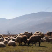 About the Albanian Wool Industry